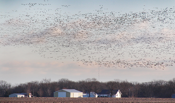 """Photo by RR Best Snow Geese Migration A sign that spring is on its way is when the snowbirds start to return north on the central flyway. Soon area """"snowbirds"""" will be returning from warmer climates in the south, just as these snow geese are traveling north. Caught outside Sullivan this flock is on its way from the marshlands of the south to northern Alaska and Canada breeding grounds. Weather changes and abundant feeding from grain left on the prairie has allowed the goose population to increase over the past decade."""