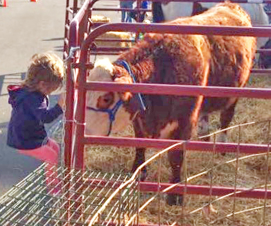 """Photo by Erica Lehman Mobile Ag's visit to Sullivan found Nora Becker, daughter of Cassie and Nathan Becker, and """"Skittles"""" the calf seeing eye to eye at the Sullivan Oktoberfest."""