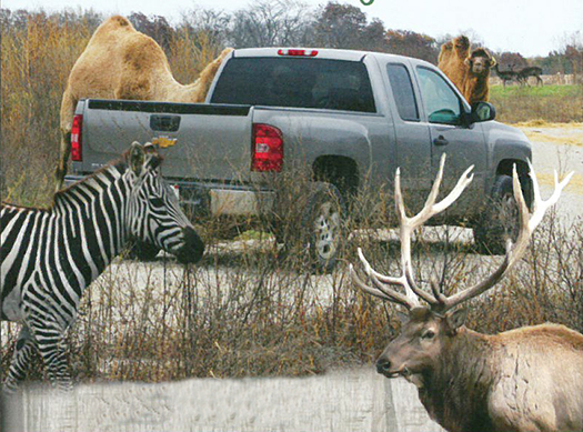 Photo furnished Whether it involves a walk through experience in July or a leisurely drive through Aikman Wildlife Adventure has brought a new perspective on zoos for visitors as they experience up close encounters with some 150 animals.